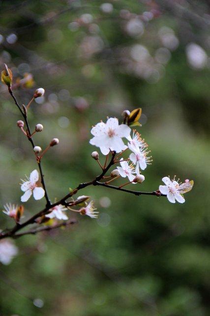 Photolauryplumltree 002-001