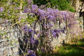 Wisteria at Laury's